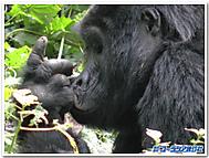 マウンテンゴリラのオス、シルバーバック(ウガンダ)