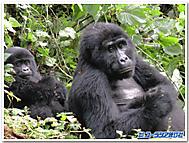 マウンテンゴリラの母子(ウガンダ)