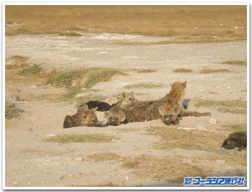 Hyaeninae3_3