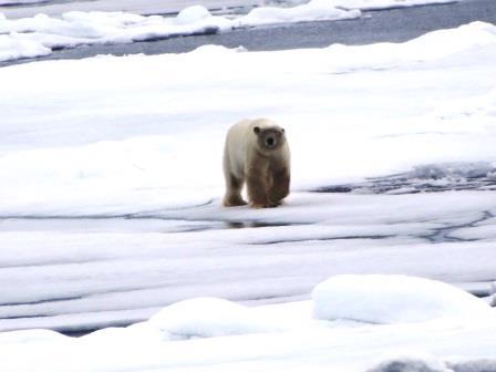 ユーラシア旅行社で行くスピッツベルゲン島クルーズ、氷上を歩くホッキョクグマ