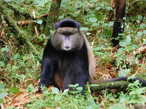 ルワンダのゴールデンモンキー