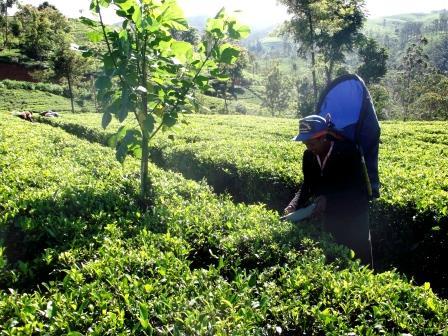 ヌワラエリヤの茶畑