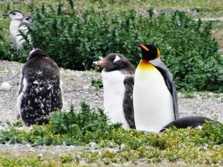 ユーラシア旅行社のパタゴニアツアー、キングペンギンとゼンツーペンギン