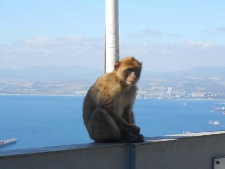 ジブラルタルの猿