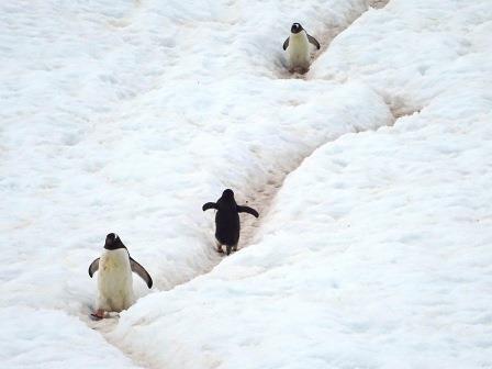 ペンギン・ハイウェイをゆくジェンツーペンギンたち