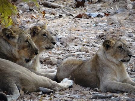 アジアライオンの親子