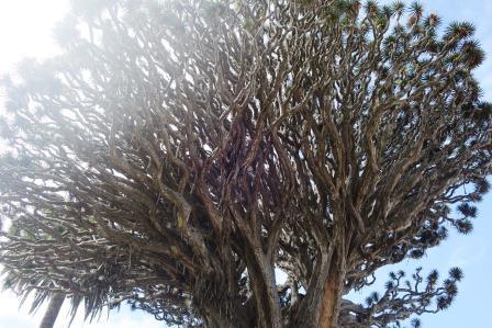 樹齢500年の竜血樹