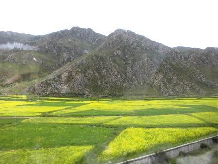 青海チベット鉄道からの菜の花