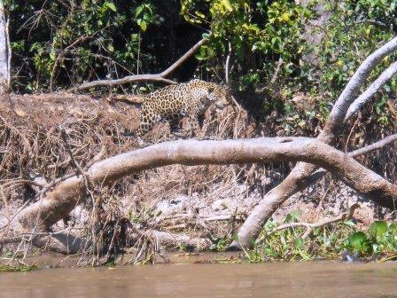 ボートサファリでジャガーに遭遇!
