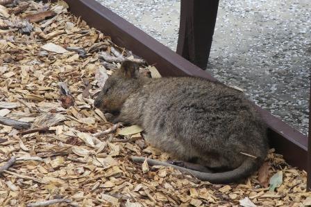 ベンチの下で眠るクオッカ