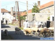 サンティアゴ巡礼路の羊