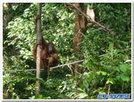 セピロック自然保護区で出会ったオラウータンの親子