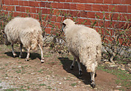 北スペインでであった羊