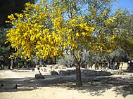 シチリアのアグリKジェント神殿の谷とミモザ